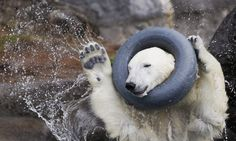 polar bear in Zoo sauvage de St-Félicien in Canada