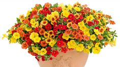 A large pot with orange and yellow petunias