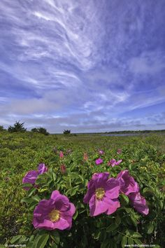 New England Photography of Cape Cod Wild Beach Roses