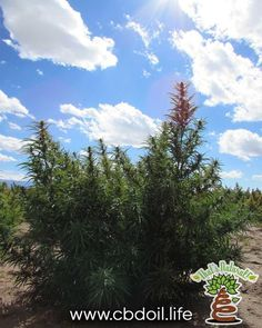 A #beautiful hemp plant in the enchanting San Luis Valley of #Colorado.  That's Natural premium CBD-rich products have 100% Traceability and Transparency!  We want you to KNOW YOUR FARMER! Find more at www.cbdoil.life  #harvest #fall #wellness #alternative #remedies #natural #home #essential #oils #pain #moms #momlife #anxiety #stress