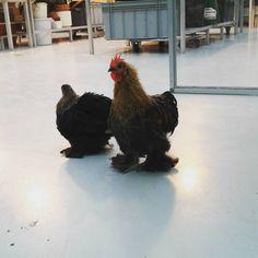 Here`s our chicken and roostroo. Tässä on meidän kukko ja kana.