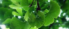 Páfrányfenyő (Ginkgo biloba) - Természet Patikája Egyesület