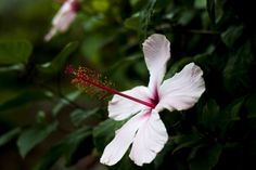 Hibiscus by Silvia Marras on 500px