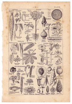 vintage plant illustrations - Google Search