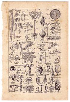 vintage plant illustrations - Google Search
