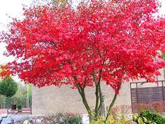 Japon akça ağacı anki çiçek açmış bitkiler kadar dikkat çekerler. Yerlere dökülen ilginç yapraklar, ilkbaharda açan ve sonra çiçekleri dökülen bitkiler kadar etkileyicidir. (Gövde ve dalların gelişim şekilleri de öyle…)