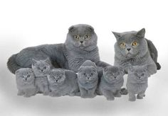 Scottish Fold Kittens. Someday I will have one.