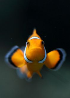 Ocellaris clownfish, Common clownfish(Amphiprion ocellaris)カクレクマノミ
