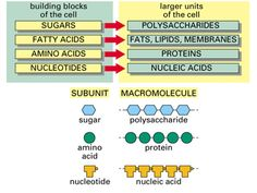 simple diagram of macromolecules, proteins, carbohydrates, lipids, and nucleic acids
