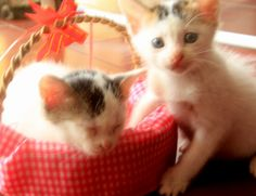 twin baby cats