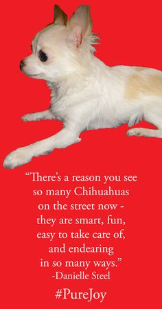 Why I love Chihuahuas #PureJoy - Danielle Steel's dog and Pure Joy is a newer book. (2013)