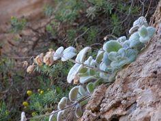 Δίκταμο ή έρωντας: Το θεϊκό βότανο της Κρήτης Cabbage, Vegetables, Plants, Food, Essen, Cabbages, Vegetable Recipes, Meals, Plant
