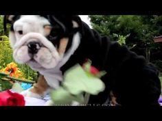 Blue english bulldog stud, Cher Lloyd, blue english bulldog Cher Lloyd I WANT YOU BACK