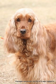 English cocker-spaniel picture in Chandigarh dog show