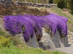 Aubrieta - low, spreading plant, hardy, evergreen and perennial, with small violet, pink or white flowers, and inhabits rocks and banks. It prefers light, well-drained soil, is tolerant of a wide pH range, and can grow in partial shade or full sun. #smallgardenshrubs