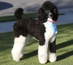 Black Standard Poodle, Standard Poodles, Poodle Grooming, Dog Grooming, White Puppies, Dogs And Puppies, Big Dogs, Cute Dogs, Phantom Poodle