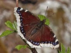 Mourning Cloak butterfly or Camberwell Beauty butterfly (Nymphalis antiopa) Float Like A Butterfly, Largest Butterfly, Flight Patterns, Sting Like A Bee, Flying Flowers, Butterfly Pictures, Nature Animals, Beautiful Butterflies, Finland