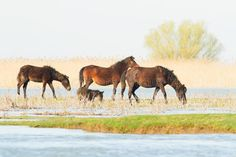Photo about Wild horses in the Danube Delta, Romania - landscape. Image of herd, equestrian, horse - 30330650 Danube Delta, Wild Horses, Textured Background, Romania, Equestrian, Camel, Stock Photos, Drawings, Landscapes
