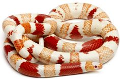 Albino Honduran Milk Snake The Effective Pictures We Offer You About albino animal angel A quality p Les Reptiles, Reptiles And Amphibians, Snakes For Sale, Milk Snake, Types Of Snake, Baby Snakes, Colorful Snakes, Dragons, Reptile Terrarium