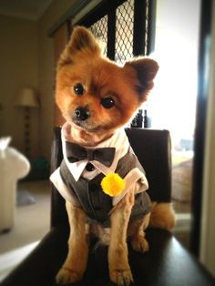 Pet as Ring bearer - DIY dog tuxedo by mum with diy yarn Pompom boutonnière to finish the look. A gray suit!