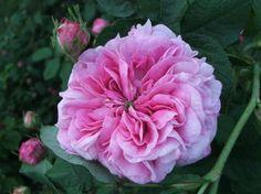 Gallica Rose: Rosa 'Belle Hélène' (France, before 1815)