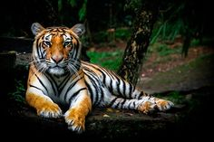 Panthera tigris sumatran by pandu shashi, via one of the animals that are endangered . Panthera tigris live in Sumatran forest in Indonesia precisely in the island of Sumatra . kelestarianya sake let's keep the balance on this beloved earth . Save The Tiger, Tiger Pictures, National Animal, All Gods Creatures, Leopards, Zoology, Beautiful Cats, Beautiful Places, Big Cats
