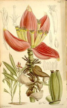 v.121 [ser.3:v.51] (1895) - Curtis's botanical magazine. - Biodiversity Heritage…