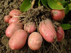 Photo about Potato plant with tubers digging up from the ground. Image of farm, healthy, fresh - 20435184 Potato Gardening, Planting Potatoes, Organic Fertilizer, Organic Gardening, Potato Varieties, How To Store Potatoes, Hosta Gardens, Love Garden, Garden Ideas