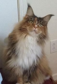 Maine Coon Cat. ...........click here to find out more http://googydog.com