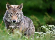 As origens do cão: Quando e onde foi domesticado o lobo