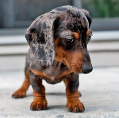 Miniature Dachshund Puppy Odds and Ends I like