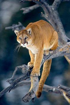 Puma - León de montaña (Puma concolor)