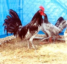 Blue Old English Game Fowl Standard Chickens Rooster and Hen - This rooster is natural comb or undubbed.