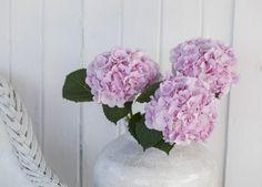 Vakre rosa avskårne hortensia i Siv vase.