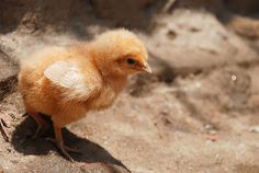 Start your weekend with a good laugh. Question: How do chickens bake a cake? Answer: From scratch! Picture by Markus Koljonen Amphibians, Mammals, Best Sites, Baked Chicken, Cute Animals, This Or That Questions, Pictures, Baby Boom, Preschool Math