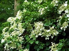 hydrangea garden care First it sleeps then it creeps then it leaps. This old gardeners saying perfectly describes this flowering vine. Climbing Hydrangea, Hydrangea Bush, Hydrangea Care, Climbing Roses, Hydrangea Petiolaris, Clematis, Mailbox Flowers, Pruning Hydrangeas, Pergola