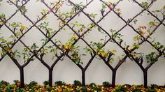 espalier gardening. Great designs for urban fruit orchards.