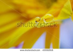 Yellow color of daisy flower in water drops