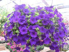 Royal Velvet petunia hanging basket