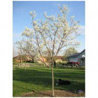 serviceberry -- amelanchier arborea - tree for a small yard. spring flowers and fall berries Service Berry Tree, Spring Flowering Trees, Spring Flowers, White Flowers, Eastern Redbud, Trees For Front Yard, Smoke Tree, Missouri Botanical Garden, Garden Trees