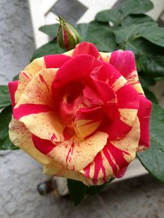 'Candyland': such a gorgeous climber that I couldn't avoid to order some more for the pillars.