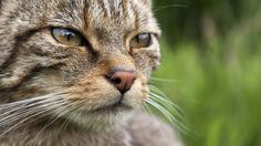 To save Scottish wildcats from extinction, a few conservationists are leaving them alone