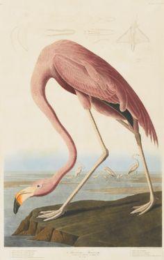 John James Audubon, American Flamingo
