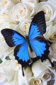 Blue butterfly on white roses by Garry Gay Borboleta azul em rosas brancas, por Garry Gay. Butterfly Kisses, Butterfly Flowers, Purple Butterfly, Blue Butterfly Tattoo, Butterfly Wings, Butterfly Video, Butterfly Place, Butterfly Chrysalis, Morpho Butterfly