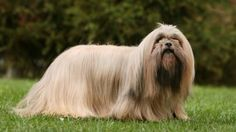 Lhasa Apso: The land of Tibet was the home of the Lhasa Apso, the breed taking its name from the sacred city of Lhasa Description Ideal height: 10 to 11 inches (25-28 cm.); a little less for bitches. Weight: