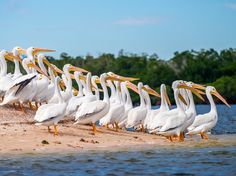Get your dose of outstanding travel photos. Today: On Indian Key in Ten Thousand Islands, within the Everglades National Park in Florida, American white pelicans wade together into the coastal waters.