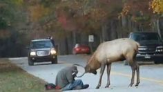The elk made headlines when it was filmed butting heads with a photographer.