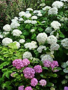 """Hydrangea serrata """"Precioza"""" et Hydrangea arborescens """"Annabelle"""""""