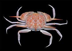 Deepwater crabs of Florida | Two-spined box crab (Acanthocarpus bispinosus, Calappidae)