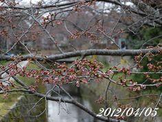京都 哲学の道 桜 2012/04/05